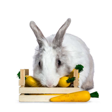 Cute white with gray shorthair bunny sitting  laying behind  eating from wooden box with fake carrots isolated on white background facing camera Stockfoto