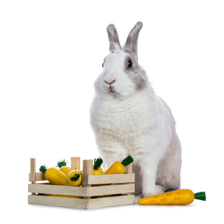 Cute white with gray shorthair bunny sitting up behind wooden box with fake carrots isolated on white background facing camera