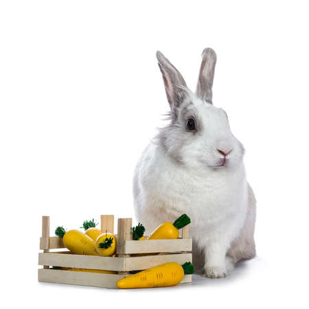 Cute white with gray shorthair bunny sitting beside wooden box with fake carrots isolated on white background facing camera Stockfoto