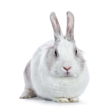 Cute white with gray shorthair bunny laying down facing camera isolated on white background