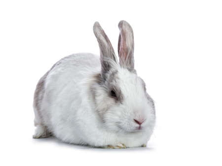 Sleepy white with gray shorthair bunny laying down side ways isolated on white background
