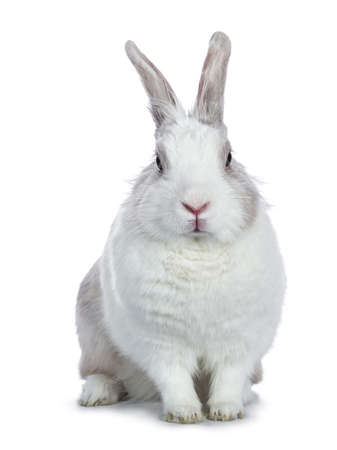 Cute white with gray shorthair bunny sitting up facing camera isolated on white background
