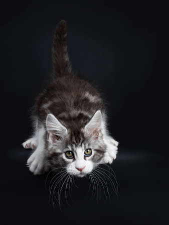 Handsome funny black tabby with white coon  kitten cat hunting  jumping off isolated on black background while looking straight at lens