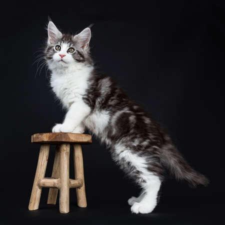 Handsome black tabby with white coon cat kitten standing side ways with front paws on wooden stool isolated on black background while looking straight at lens