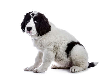 Cute black and white rural puppy sitting side ways isolated on white backgrond looking up