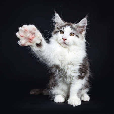 Kung fu black tabby with white coon cat  kitten sitting on black background with one paw wide angle in air Stock Photo