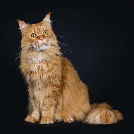 Big red adult yawning Maine Coon sitting on a black background big tail around body and looking up