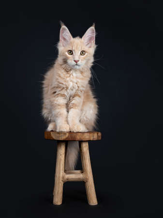 Fluffy cream Maine Coon cat sitting on small wooden stool isolated on black background looking at camera