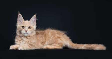 Fluffy cream Maine Coon cat kitten laying flat side ways isolated on black background looking at camera