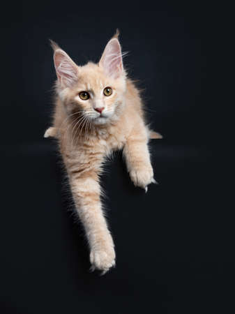 Fluffy cream Maine Coon cat kitten hanging with paws over edge isolated on black background
