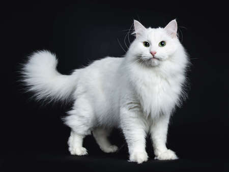 Impressive solid white Siberian cat standing side ways isolated on black background looking straight into camera Stockfoto