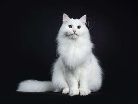 Impressive solid white Siberian cat sitting straight with tail on the side of the body isolated on black background Stockfoto