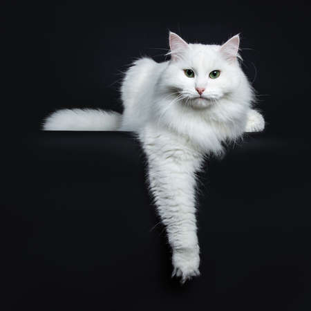 Impressive solid white Siberian cat laying down with tail on a white background with one paw hanging over edge and looking straight into camera