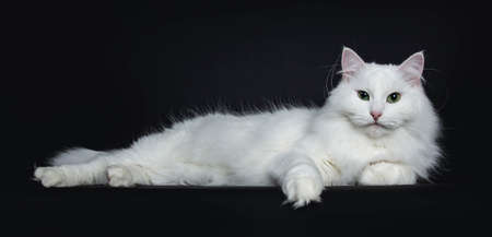 Impressive solid white Siberian cat laying down side ways isolated on black background looking straight into camera