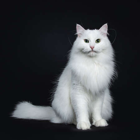 Impressive solid white Siberian cat sitting facing front isolated on black background looking straight into camera and tail beside body