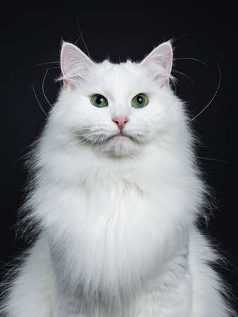Head shot or miterive solid white siberian cat sitting isolated on black background looking straight into camera Stockfoto