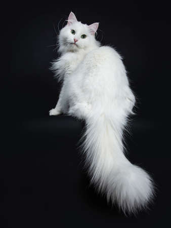 Impressive solid white Siberian cat sitting backwards with tail hanging down isolated on black background looking over shoulder straight into camera