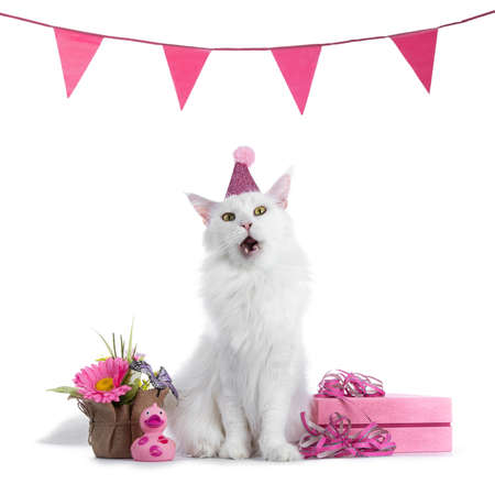 Sweet solid white maine coon cat girl having birthday in pink isolated on white background