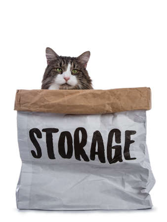 Black tabby with white Norwegian Forest cat sitting in paper stage bag looking with mesmerizing green eyes over edge straight into camera Stockfoto