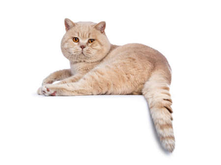 Impressive creme adult male british shorthair cat laying down backwards isolated on white background looking over shoulder with tail hanging down over edge