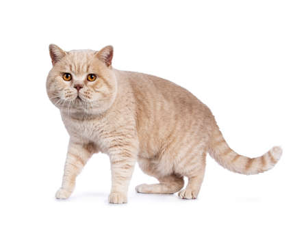 Impressive cream adult male British Shorthair cat walking  standing isolated on white background looking at lense