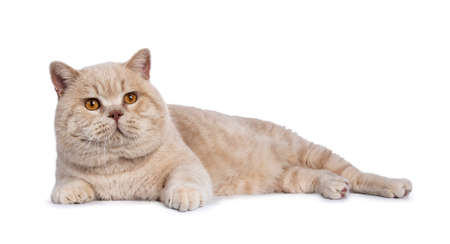 Impressive cream adult male British Shorthair laying down side ways isolated on white background looking a bit up