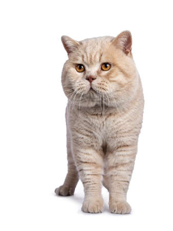 Impressive cream adult male British Shorthair cat standing facing front isolated on white background looking to the side