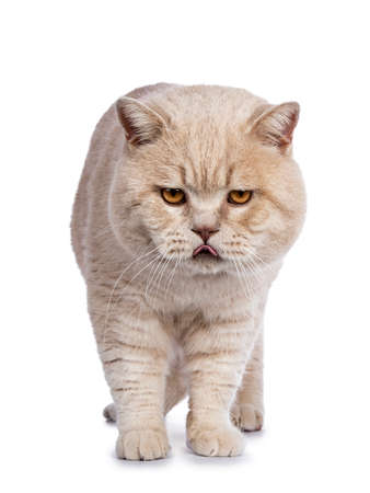 Impressive male adult British Shorthair cat standing facing front isolated on white background looking at camera and sticking tongue out