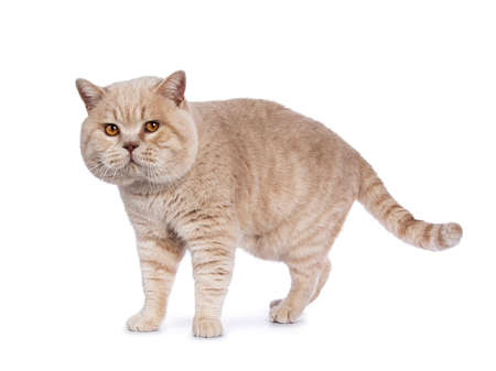 Impressive cream adult male British Shorthair cat walking isolated on white background looking at camera