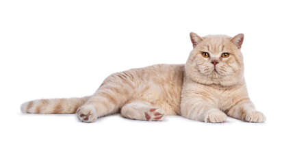 Impressive cream adult male British Shorthair laying down side ways isolated on white background looking straight into camera
