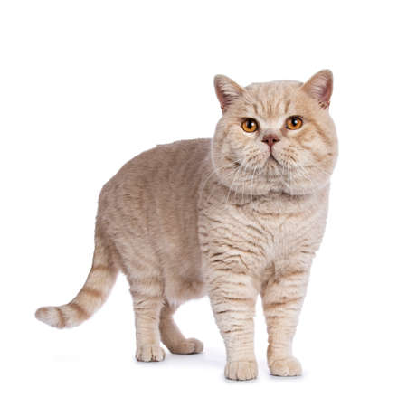 Impressive cream adult male British Shorthair cat standing isolated on white background 免版税图像
