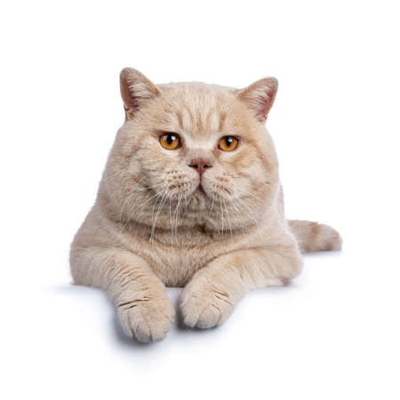 Impressive cream adult male British Shorthair cat laying down isolated on white background with paws over edge