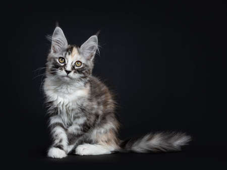 Majestic tortie Maine Coon cat sitting on the beach with tail behind body