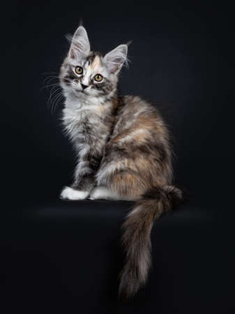 baf1c65fb7 Majestic tortie maine Coon cat kitten sitting down on the beach looking at  camera with tail