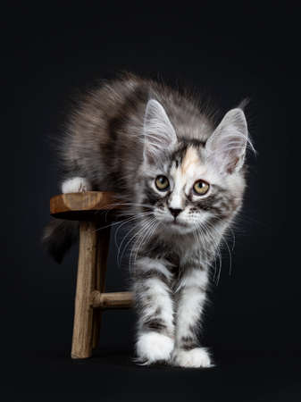Majestic tortie Maine Coon cat kitten girl stepping over wooden stool isolated on black background 写真素材