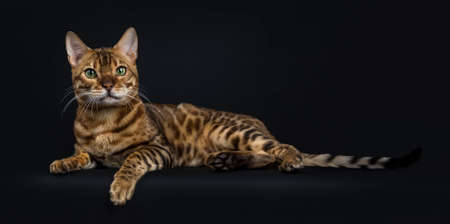 Adult shiny male with green eyes bengal laying down and looking straight straight into camera isolated on black background Stockfoto