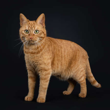Deep red European Shorthair  street standing cat isolated on black background looking at camera