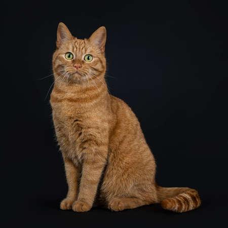 Deep red European Shorthair  street cat sitting looking straight at camera