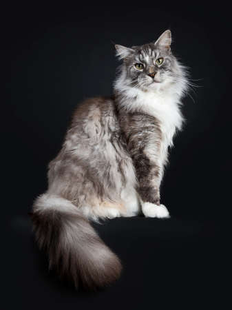 Handsome adult senior Maine Coon sitting on a white background with tail hanging down over edge and straight in lens