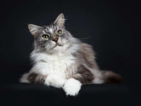 Handsome adult senior Maine Coon cat laying down isolated on black background and looking a bit up Stockfoto