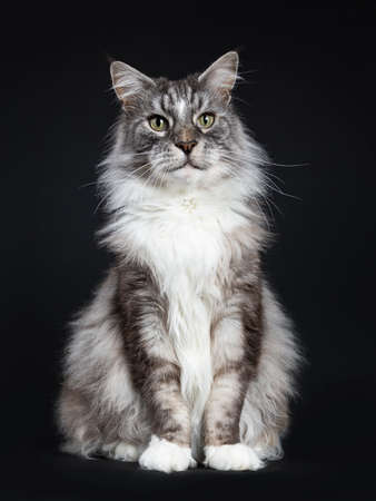 Handsome adult senior Maine Coon sitting in front of cat isolated on black background Stockfoto