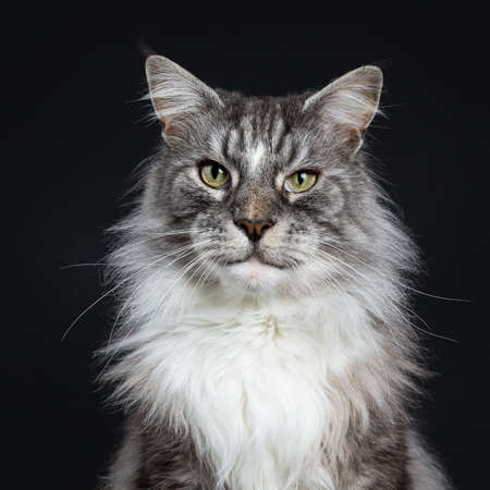 Head shot of handsome adult senior coon cat sitting facing front isolated on black background looking straight into lens
