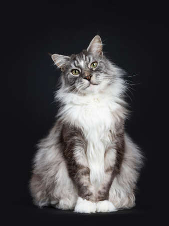Handsome adult senior Maine Coon sitting over head in front isolated on black background with tilted head looking straight into lens
