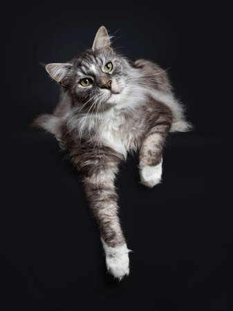 Handsome adult senior Maine Coon cat laying down isolated on black background with paws hanging down over edge and looking to the side Stockfoto