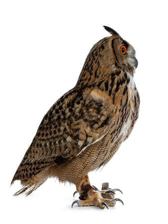 Turkmenian Eagle owl  bubo bubo turcomanus sitting side ways isolated on white background looking straight forward  profile