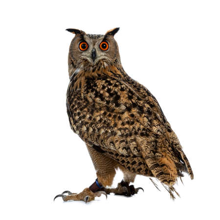 Turkmenian Eagle owl  bubo bubo turcomanus sitting isolated on white background looking over shoulder in lens