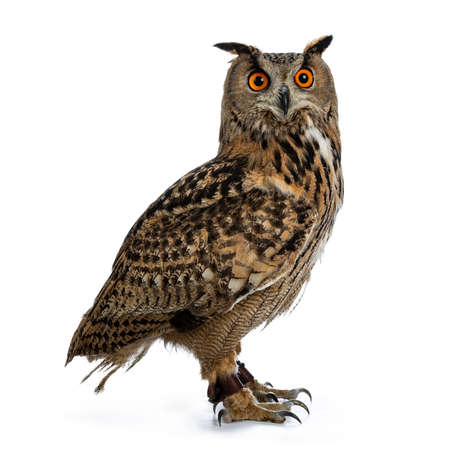 Turkmenian Eagle owl  bubo bubo turcomanus sitting side ways isolated over white background looking over shoulder in lens