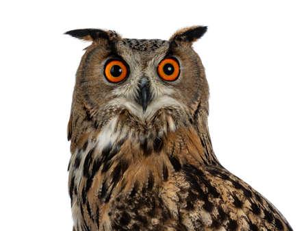 Head shot of Turkmenian Eagle owl  bubo bubo turcomanus isolated on white background looking in lens Stockfoto