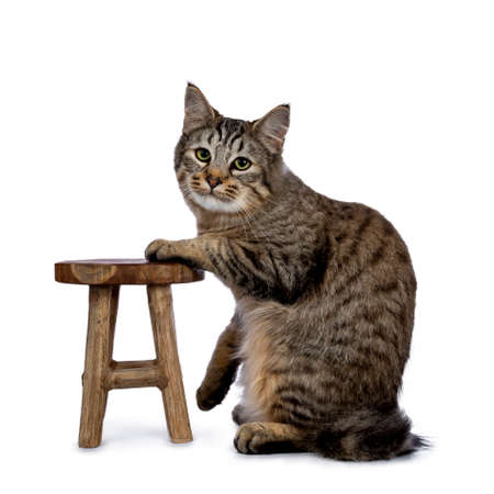 Pixie bob cat kitten sitting side ways isolated on white background and looking at lens with one paw on a little wooden stool Stockfoto