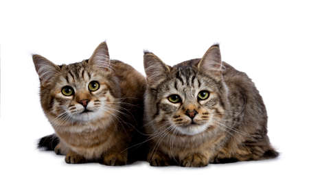 Duo or two pixie bob cat kittens both laying down isolated on white background and facing camera